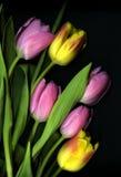 Roze en gele Tulpen op zwarte achtergrond Royalty-vrije Stock Foto