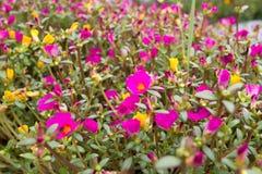 Roze en gele Verdolaga Stock Foto