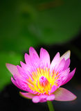 Roze en gele waterlelie Royalty-vrije Stock Foto's