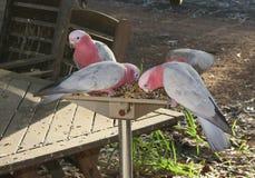 Roze en Grey Cockatoos-het voeden Royalty-vrije Stock Foto