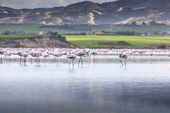 Roze en grijze flamingo's bij het zoute meer van Larnaca, Cyprus royalty-vrije stock afbeeldingen