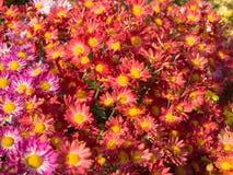 Roze en Koraal gekleurde Chrysantenbloemen stock fotografie