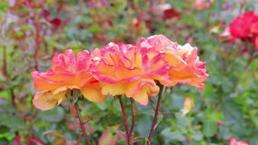 Roze en oranje rozen stock videobeelden