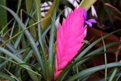 Roze en purpere ananasbloesem royalty-vrije stock foto's