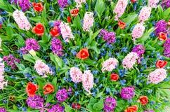 Roze en purpere hyacinten die in de Lente onder kleurrijk bloemgebied van tulpen bij Keukenhof-tuin in Nederland bloeien Royalty-vrije Stock Foto's