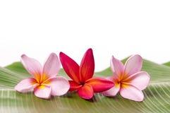 Roze en Rode Frangipani-Bloemen Stock Afbeeldingen