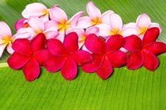 Roze en Rode Frangipani-Bloemen Stock Foto's