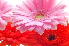 Roze en rode gerberas Stock Fotografie