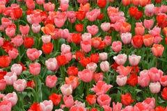 Roze en rode tulpen Stock Fotografie