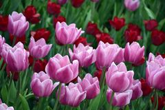 Roze en rode tulpen in de tuin Royalty-vrije Stock Fotografie