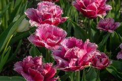 Roze en rode tulpen in volledige bloei stock fotografie