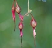 Roze en Rood boon-als Bloemen Stock Fotografie