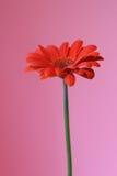 Roze en sinaasappel Stock Foto's