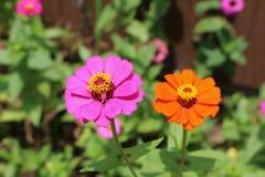 Roze en sinaasappel Royalty-vrije Stock Fotografie