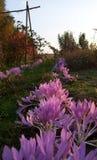 Roze en violette colchicumbloemen op de weide Stock Afbeelding
