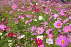 Roze en violette de bloesem dichte omhooggaand van de kosmosbloem stock afbeeldingen