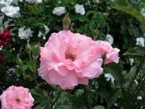 Roze en wight rozen in een tuin stock foto's
