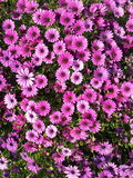 Roze en wildernis Stock Foto's