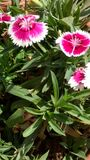 Roze en wit Royalty-vrije Stock Afbeelding
