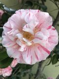 Roze en wit Stock Foto's