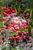 Roze en wit bloemengebied Royalty-vrije Stock Fotografie