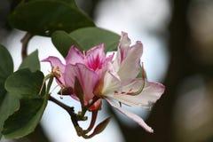 Roze en wit in het midden van het licht Stock Afbeeldingen