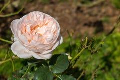 Roze en wit nam in het tuin wiyh groene blad toe Royalty-vrije Stock Fotografie