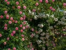 Roze en wit nam struiken op een zonnige dag in de lente toe Stock Foto