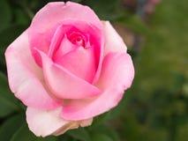 Roze en wit nam toe stock afbeeldingen