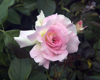 Roze en wit nam toe Stock Foto