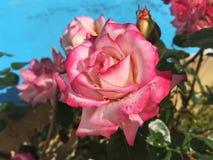 Roze en wit nam toe Stock Afbeelding