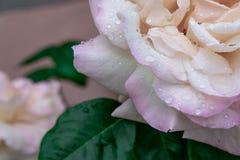 Roze en wit steeg dicht royalty-vrije stock foto's