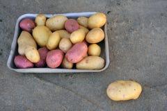 Roze en witte aardappels van lokale die verscheidenheden op een ecologisch landbouwbedrijf worden gekweekt Royalty-vrije Stock Foto