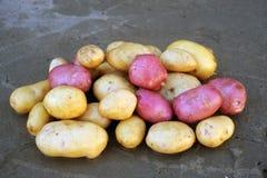 Roze en witte aardappels van lokale die verscheidenheden op een ecologisch landbouwbedrijf worden gekweekt Royalty-vrije Stock Foto's