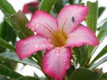 Roze en witte adeniumbloem royalty-vrije stock afbeelding
