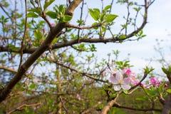 Roze en Witte Aplle-Bloesems Royalty-vrije Stock Afbeelding
