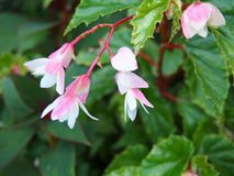 Roze en witte begonia Sydney Royal Botanical Gardens royalty-vrije stock afbeeldingen