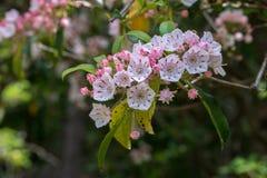 Roze en witte berglaurier in bloei royalty-vrije stock fotografie