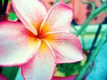 Roze en witte bloem Stock Foto's