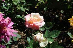 Roze en witte bloem dichte omhoog a royalty-vrije stock foto