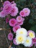 Roze en witte bloemen Stock Fotografie