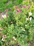 Roze en witte bloemen Royalty-vrije Stock Afbeelding