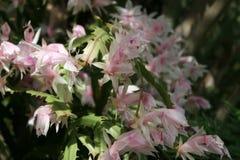 Roze en Witte Bloemen en Groene Bladeren Royalty-vrije Stock Afbeeldingen