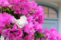 Roze en witte bougainvillea Stock Afbeelding