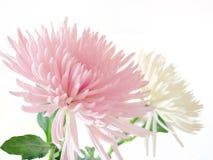 Roze en witte Chrysant royalty-vrije stock fotografie