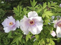 Roze en witte de bloemenbloesem van de bergpioen stock foto