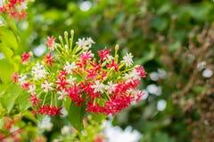 Roze en Witte de Klimplantbloem van Rangoon op aardachtergrond Stock Foto's