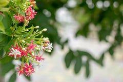 Roze en Witte de Klimplantbloem van Rangoon op aardachtergrond Stock Foto