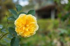 Roze en witte Engels nam in het tuin wiyh groene blad toe Royalty-vrije Stock Afbeeldingen