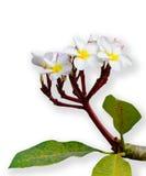 Roze en witte frangipanibloemen op wit Stock Afbeelding